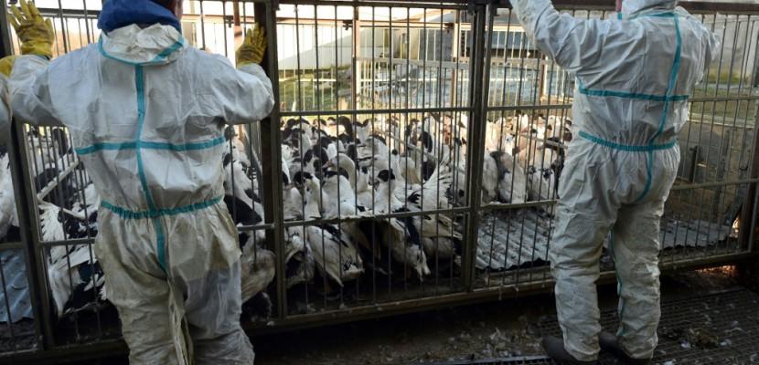 Grippe aviaire: dans le Gers, le désarroi d'une famille d'éleveurs
