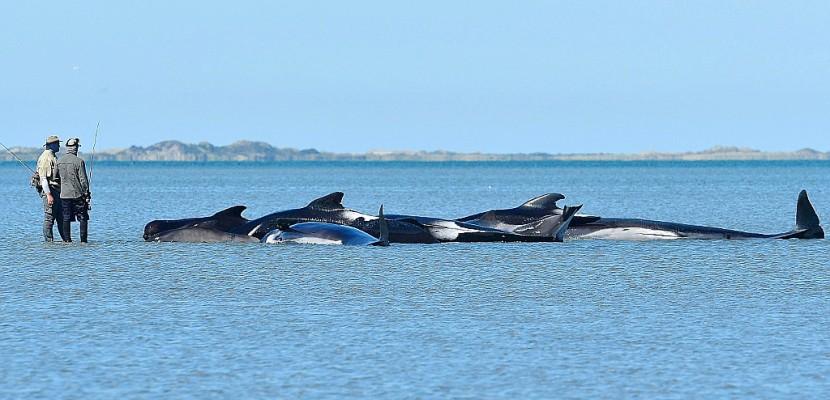 Nouvelle-Zélande: les baleines-pilotes échouées regagnent le large