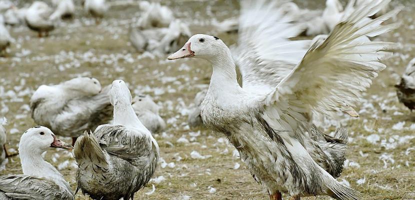 Grippe aviaire: vide sanitaire dans cinq départements du sud-ouest