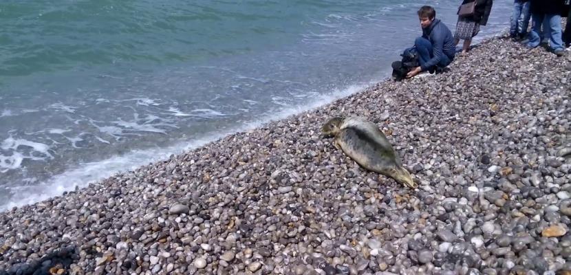 Nausicaa, phoque secouru dans la Manche, a retrouvé le large [Vidéo]