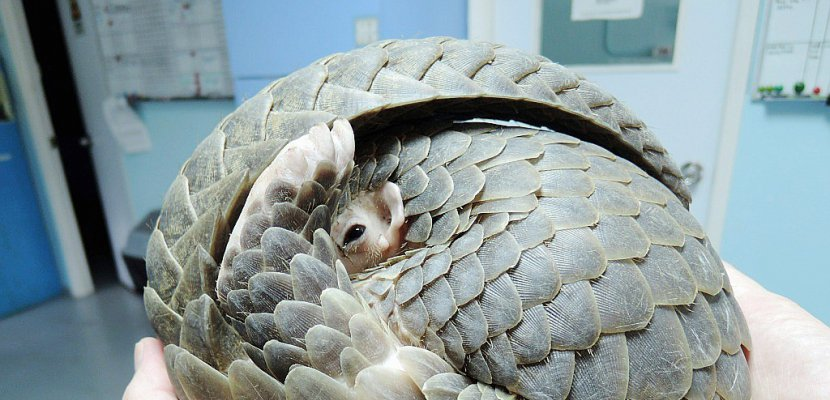Malgré l'interdiction, le pangolin se vend à prix d'or à Hong Kong