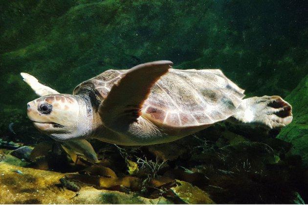 """En Normandie, un """"SAMU"""" pour les tortues marines"""