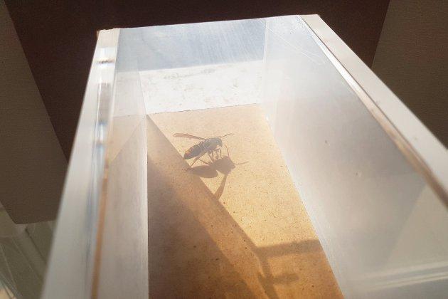 La ruche du Muséum du Havre attaquée par des frelons asiatiques [vidéo]