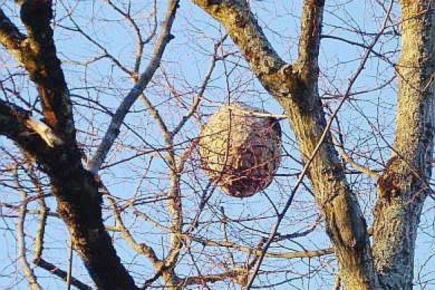 Saint-Lô. Frelon asiatique: plus de 3 400 nids détruits dans la Manche