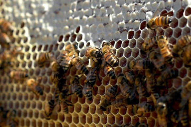 Un vaccin pour les abeilles face à