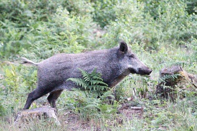 Sangliers?: convention entre agriculteurs et chasseurs dans le Calvados