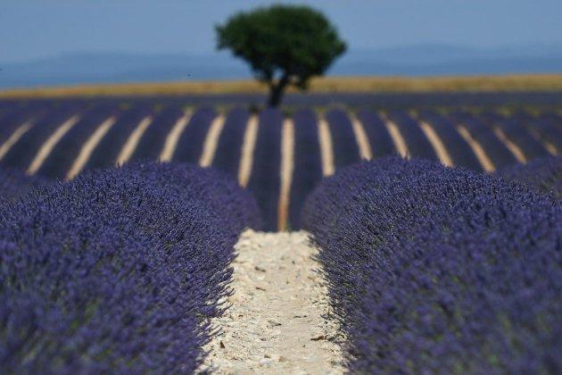 """La lavande, """"or bleu"""" de Provence, connaît un essor spectaculaire mais fragile"""