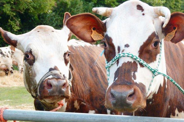 Incendie dans une ferme du Calvados : 160 vaches sauvées