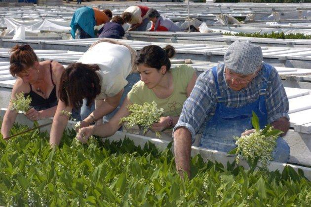 Pays de la Loire: 50 à 60 millions de brins de muguet près pour le 1er mai