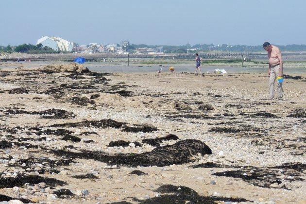 Les algues sur le littoral du Calvados: un phénomène naturel