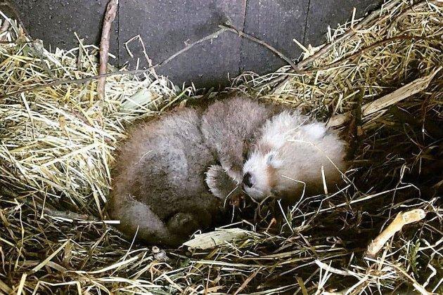 Carnet rose : un panda roux au zoo de Jurques
