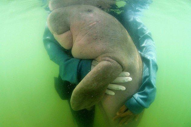 Thaïlande: mort du bébé-star dugong