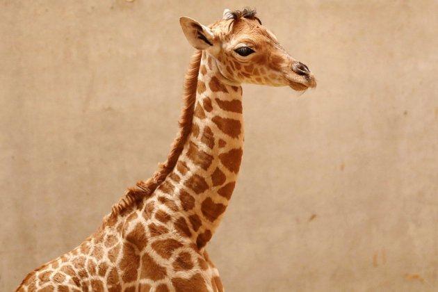 Une première dans la Manche : un girafon naît au zoo de Champrépus