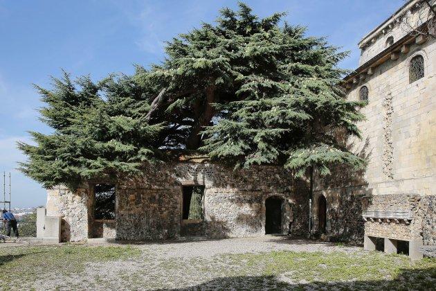 L'Abbaye de Graville honore son cèdre