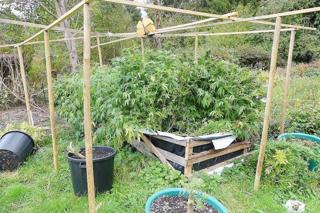 Attirés par l'odeur, les gendarmes découvrent plus de 100 pieds de cannabis