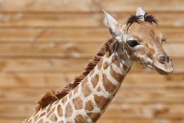 Le girafon Pemba est décédé