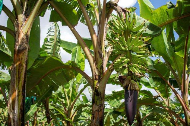"""Antilles: l'Etat, """"premier responsable"""" de la pollution au chlordécone, selon un rapport"""