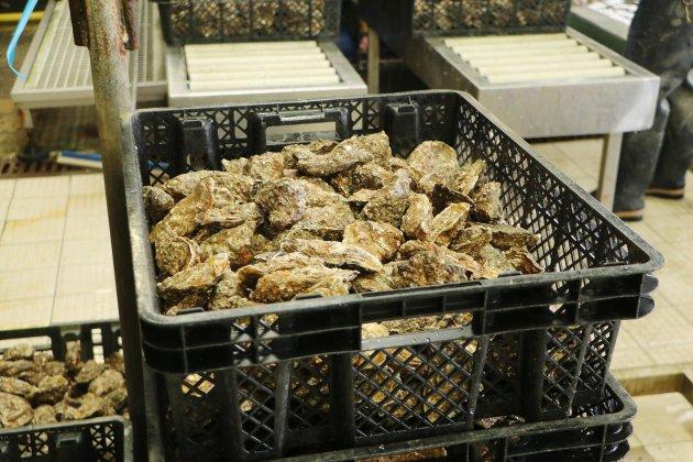 Calvados. Gastro-entérite à cause des huîtres : nouvelles interdictions de pêche