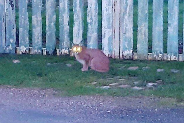Un lynx a été aperçu à plusieurs reprises sur le secteur de Bolbec