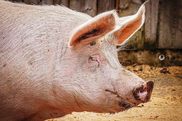 Deux cochons périssent dans l'incendie d'un bâtiment agricole