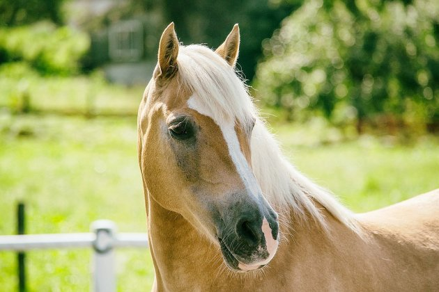 Attaques de chevaux: une jument victime d'un coup de couteau