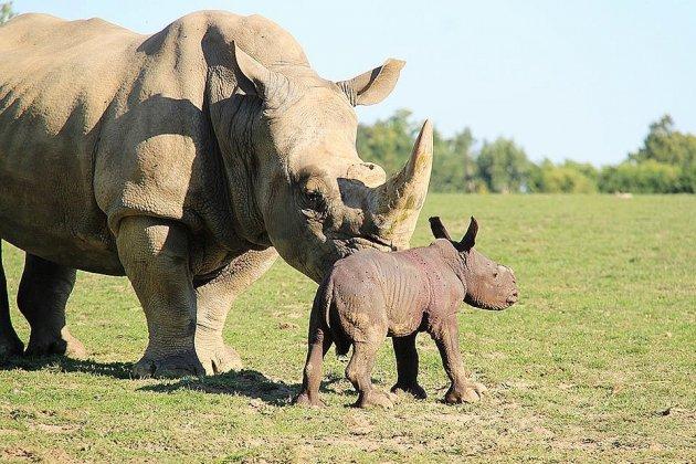 Carnet rose:un rhinocéros blanc naît au zoo de Cerza