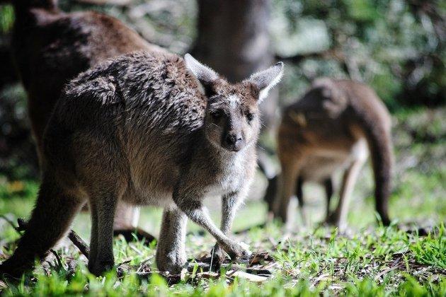 Un kangourou s'échappe d'un cirque et divague dans les rues