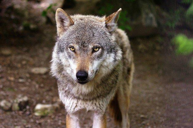Attaques de loup: pourquoi s'agirait-il du même animal que l'an passé?