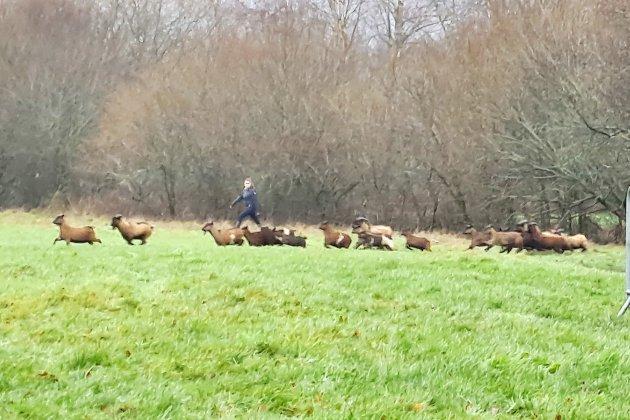 Les chèvres en divagation depuis un an attrapées et (presque toutes) adoptées!