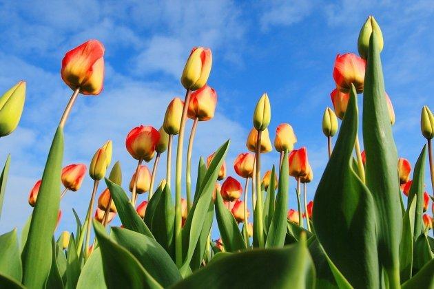 Cueillir des tulipes pour aider la recherche contre le cancer