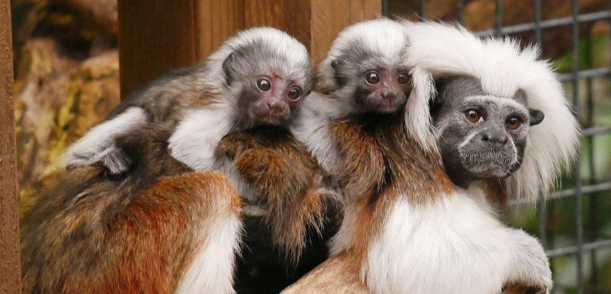 Des jumeaux tamarins sont nés à Biotropica!