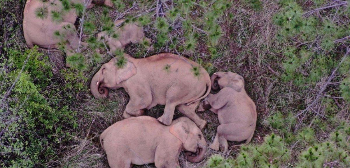 Chine: drones et bananes contre éléphants vadrouilleurs