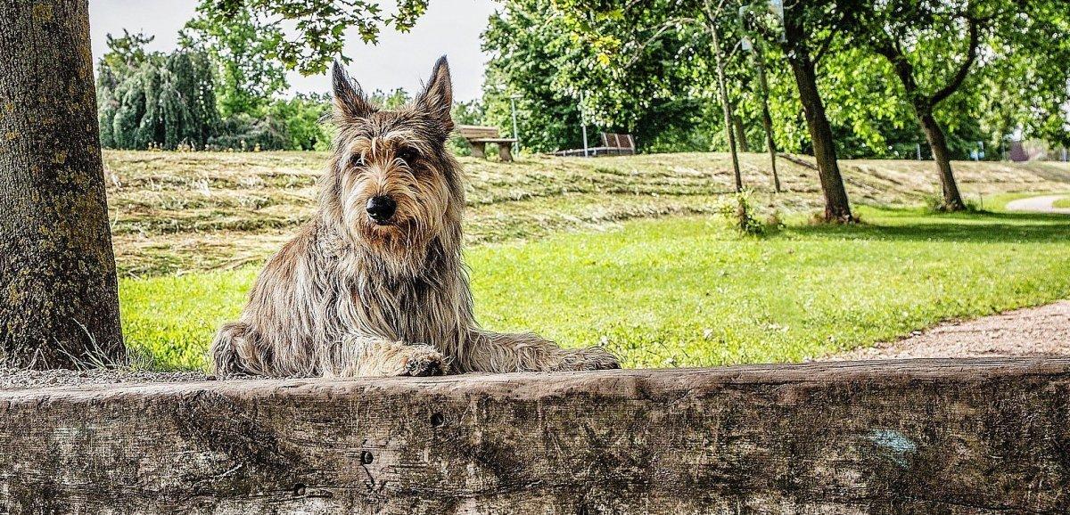 Seine-Maritime. Deux chiens attaquent un troupeau et tuent cinq brebis