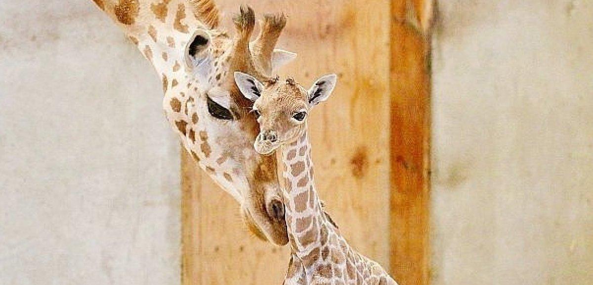 Champrépus. Le petit girafon né le 15 août au parc animalier estmort