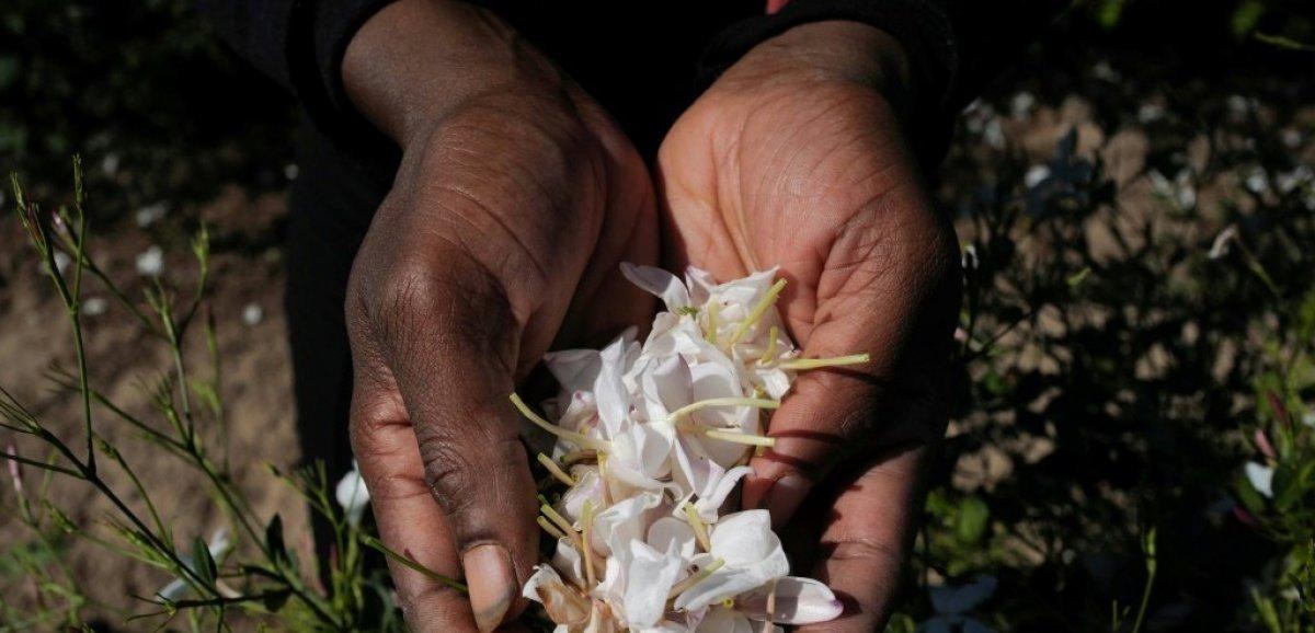 A Grasse, la récolte du jasmin bat son plein pour les 100 ans du Chanel N°5