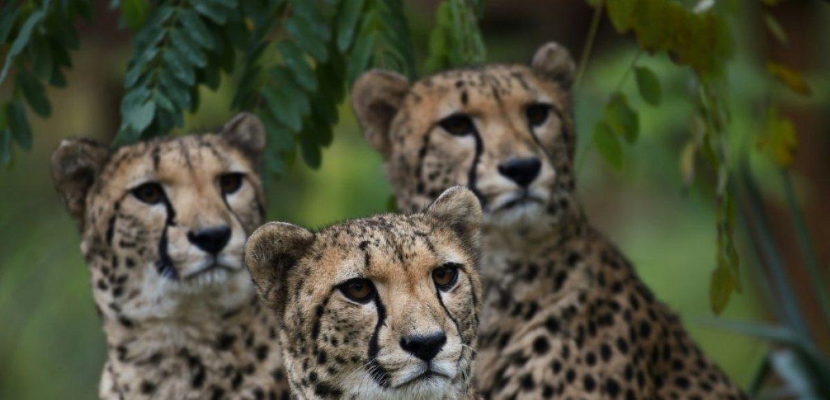 UICN: pour les lions et guépards, une