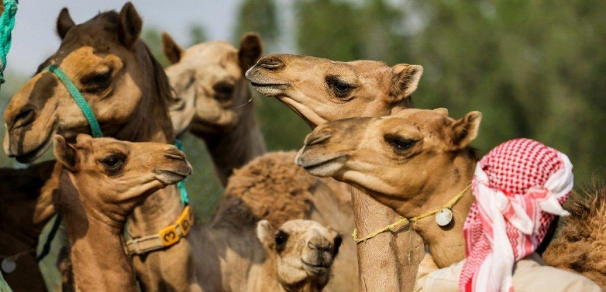A Dubaï, des chameaux clonés pour gagner courses et concours de beauté