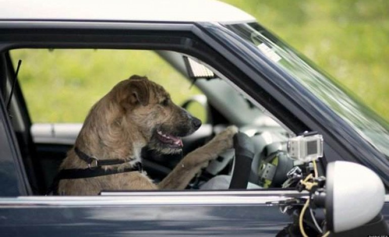 en norv ge la spa apprend aux chiens conduire. Black Bedroom Furniture Sets. Home Design Ideas