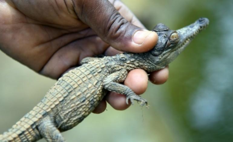 Au zoo d'Abidjan, une pouponnière pour des bébés crocodiles en danger