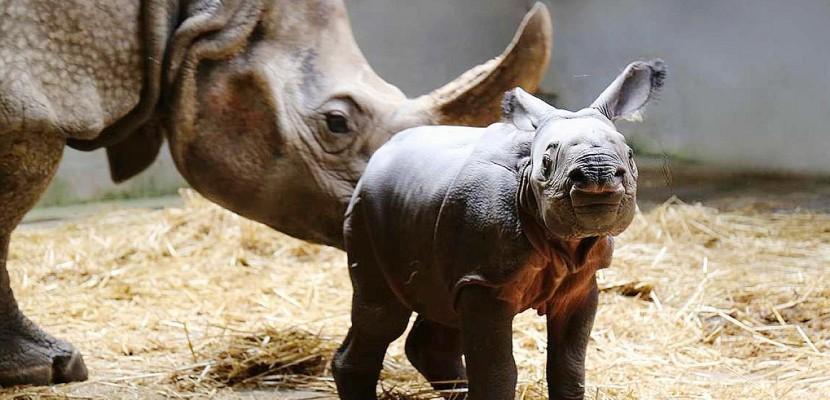 Normandie : le rhinocéros sans nom en a enfin un !