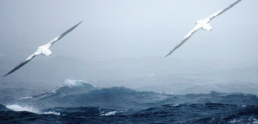Le plus vieil oiseau marin a encore pondu, à 66 ans