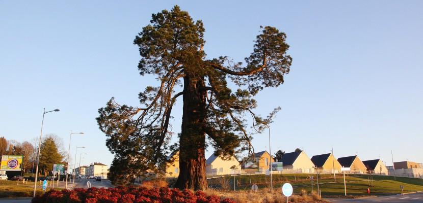 Tempête en Normandie: décapité, le séquoia centenaire devrait survivre