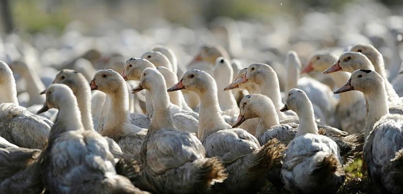 Grippe aviaire: tous les canards des Landes vont être abattus