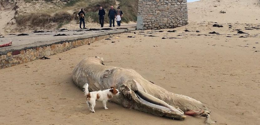 Manche :une carcasse de cachalot échouée sur le sable [Photos]