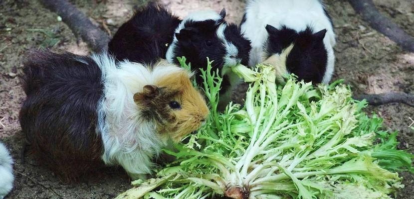 """Manche : un """"déstockage"""" de cochons d'Indeà Montaigu-La-Brisette"""