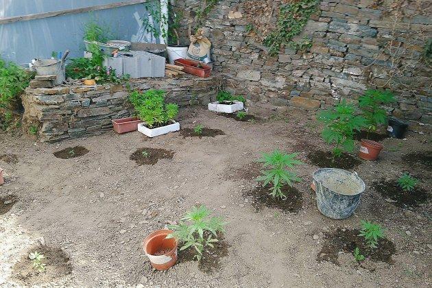 Manche: 70 pieds de cannabis saisis aux Pieux