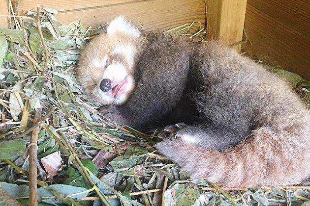 Normandie: naissance d'un panda roux chez Biotropica