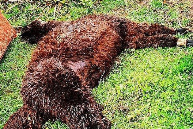 Près de Caen: des alpagas massacrés par des chiens