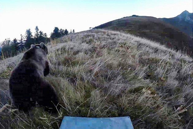 La France renforce la population d'ours dans les Pyrénées en relâchant deux femelles