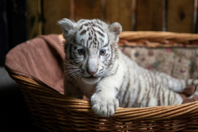 La Chine s'entiche de ses tigres blancs triplés
